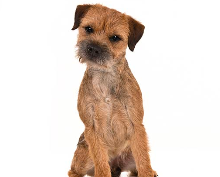 Border Terrier best small dog for kids no shedding