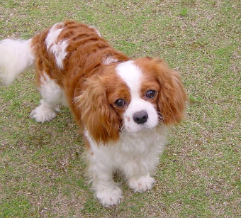 Cavalier King Charles Spaniel is a great dog for a scared child