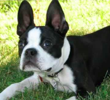 boston terrier is a suitable dog for a scared kid