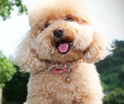 Poodle is a great dog for older people